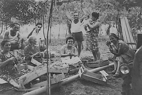 Raccolta uva da tavola 1963